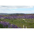 The lupins between Twizel and Tekapo each year give a stunning show.  The smell is amazing.   I ...