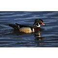 woodduck duck Birds Burnaby Lake BC Canada