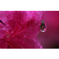 magenta pink nature flower drop