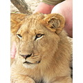 AntelopePark Lions Cubs WorkingwithLions Zimbabwe Animals Wildlife