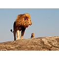 Lion with baby