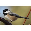 birds blackcapped chickadee Burnaby BC Canada