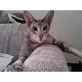 """""""Who said I am a rabbit? I am a cat with the beautiful ears!""""  - My friend, Karen's cat.... Fo..."""