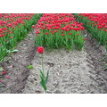 different tulip bulbfield groningen tulips