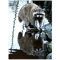 reflectionthursday racoon nature