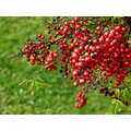 berries berry plant nature