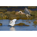 Heron and Little Egret