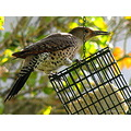 birds carlsbirdclub wildlife redshafted flicker