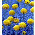 blue fly people spain alora photo flowers emtomology insect bug casaimag
