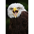 American Alaskan Bald Eagle Bird Raptor Prey