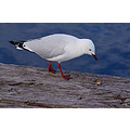 seagull birds animal feathers nature wildlife