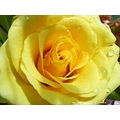 yellow rose macro poulets thailand closeup nature flower