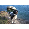 Dog Springer Spaniel Water