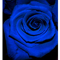 blue rose flower nature
