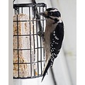 downy woodpecker Burnaby BC Canada