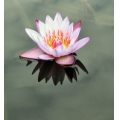 waterlilly flower