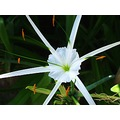 flower white plant asterisk star philippines boracay padlex
