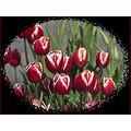 Tulips WoodenShoeTulipFarm Woodburn Oregon