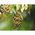 butterfly emerging from chrsalis insect bug