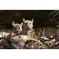 Tigers on kill Bandhavgarh