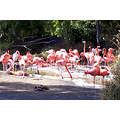Flamingos (1 of a series) San Diego Zoo