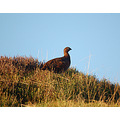 red grouse north yorkshire