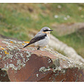 wheatear northam burrows devon