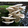 Mushrooms Toadstools Wildlife Funghi Oyster Nature Spideyj mushroomclub