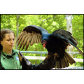 stlouis missouri us usa animal bird sanctuary turkey vulture WBS 051708 2008