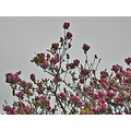 magnolias nature naturefph