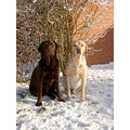 dogs labrador winter