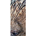 macro wildlife hedgehog