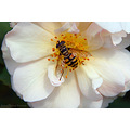rose flower insect nature nikon pleven sigma