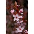 prunus flowers spring