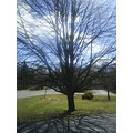Front yard tree and pretty sky