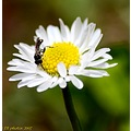 daisy insect flower nature flora