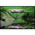Tiger animal reflection