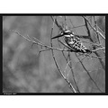 Pied Kingfisher  End of series