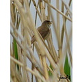 reed warbler bird singing nature