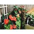 anthurium flowers garden cat