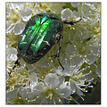 rosechafer beetle