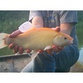 golden tench