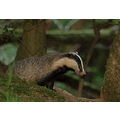 badger stoodleigh devon wildlife animals