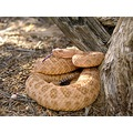 Grand Canyon rattlesnake (large pinkish male)
