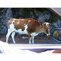 Young Cow on the street...