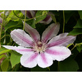 clematis nellymoser England