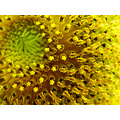 sunflower judyss macro yellow flower summer