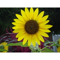 sunflower nature yellow