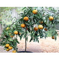 My little Clementine tree.  I purchased this little tree about a year ago.  This past spring (lat...