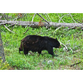 yellowstone yellowstonenationalpark bears